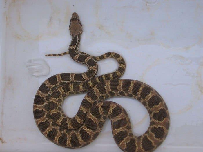 kurdistan viper picture