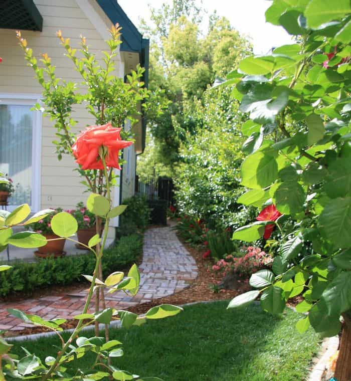A beautiful rose garden with an old brick pathway snaking up the side of the house, in Folsom Garden Club Spring Garden Tour.