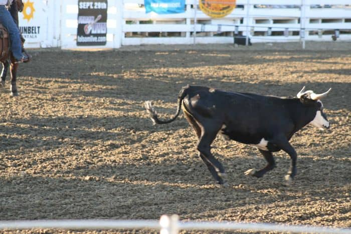 Cowboys in pursuit at The Folsom Pro Rodeo.