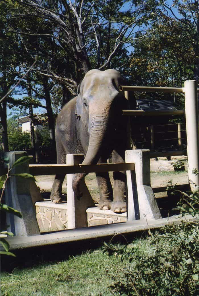 Zoo elephant. Image c/o Paula Moore.