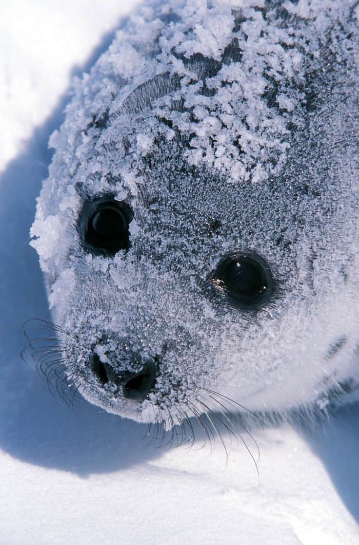 Snow covered baby seal.