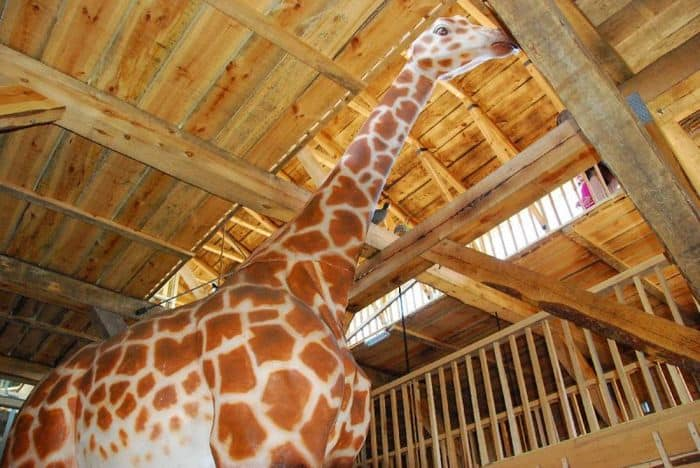 Giraffe in Noahs Ark