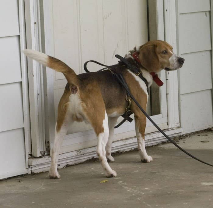 Sam, a two year old Beagle, signals to his handler, Tim Hartsock of Fishers, Ind., that they need to look inside a house at Muscatatuck Urban Training Center in Butlerville, Ind. The Indiana Department of Homeland Security conducted a search and cadaver dog training session using some of the buildings at MUTC as training sites.