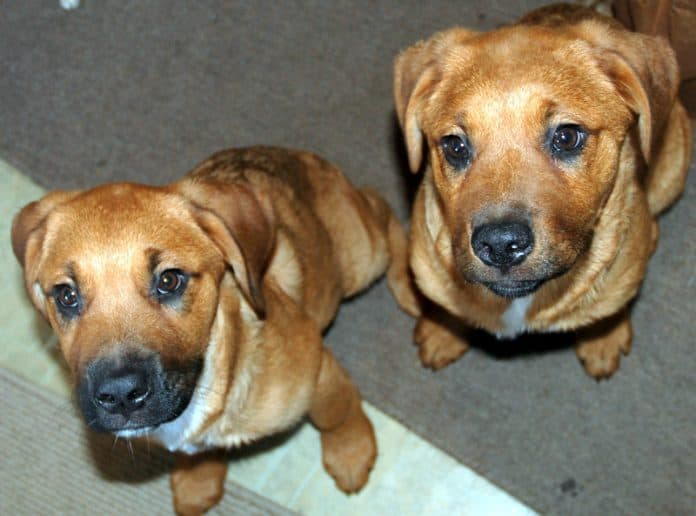 Two St. Weiler puppies.