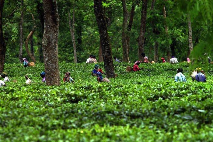 Tea Garden 6