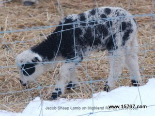 Jacob Sheep is a rare breed. The body often resembles a goat and can have two to six horns.