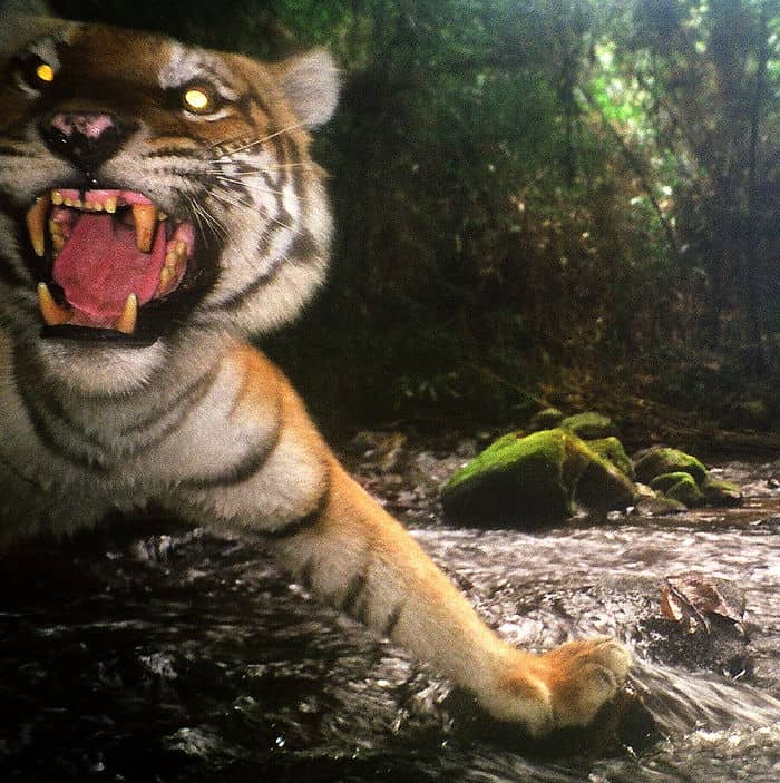 Tiger WCS Laos Camera Trap NEPL