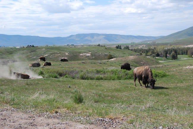 Buffalo herd www.roadtrekin.com by www.befirstinc.com
