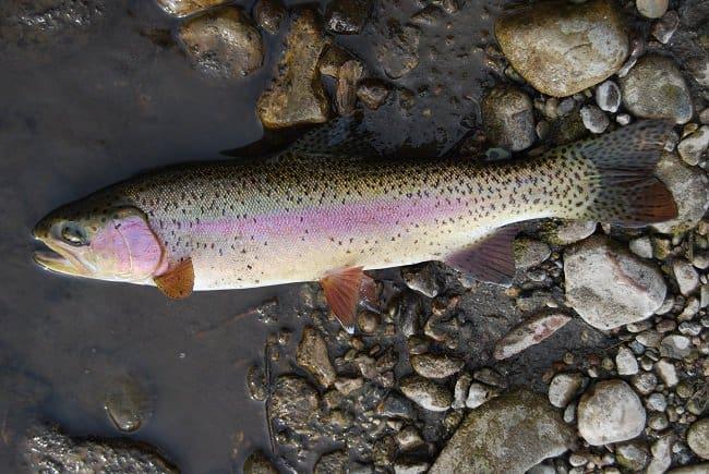 Rainbow Trout www.roadtrekin.com montana