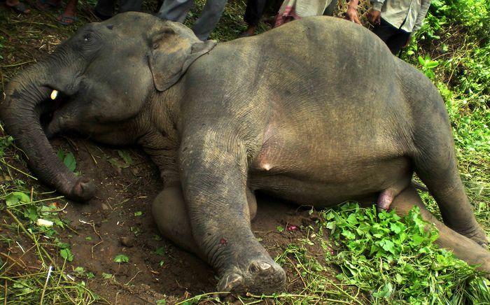Elephant Killed 02