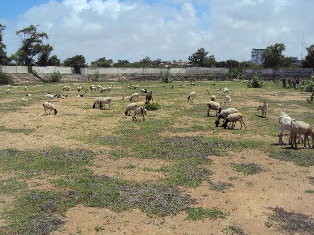 goates grazing inside the stadium