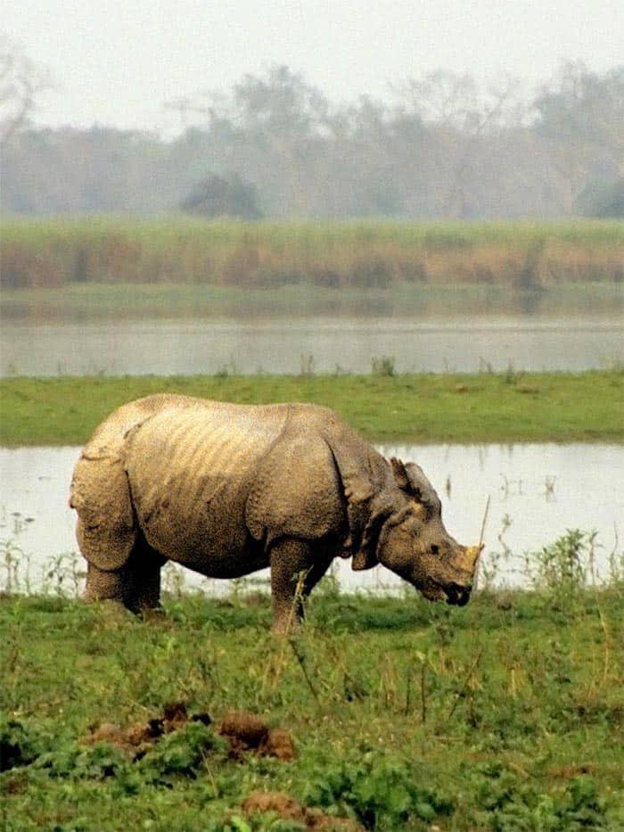 one horn rhino
