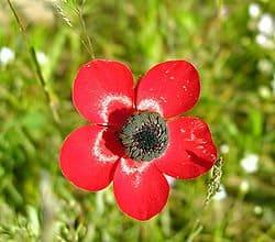 Nurit the flower