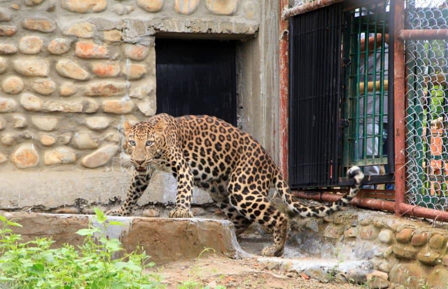 Doom Leopard Dimapur02