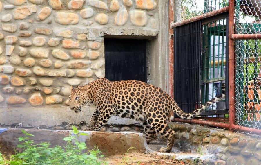 Doom Leopard Dimapur03