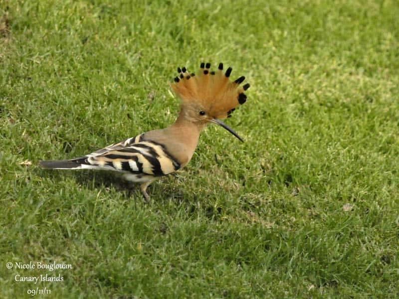 Israels national bird the hoope