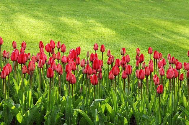 lawn tulips
