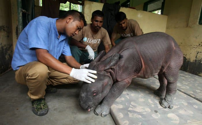Male rhino calf rescue 01