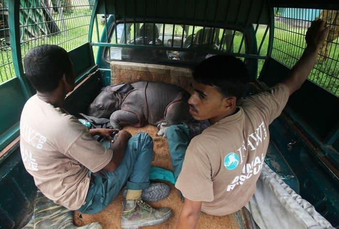 Male rhino calf rescue 05