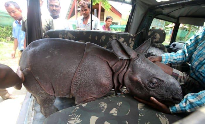 Male rhino calf rescue 06
