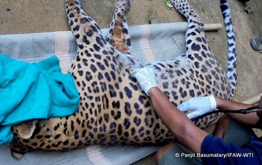 Leopard Health checkup