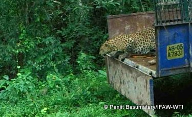 Leopard returns to the wilderness