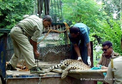 Leopard is bei