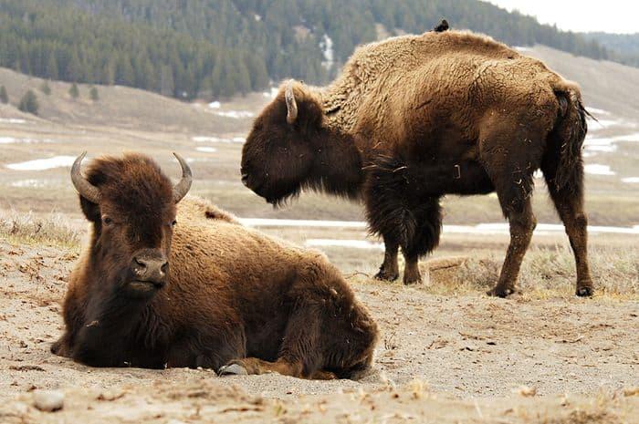American Bison in wild Yellowstone, photo: Julie Larsen Maher