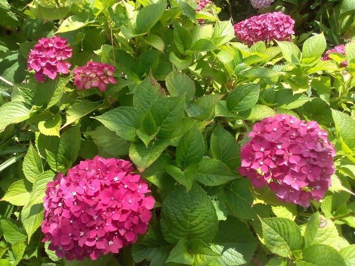 Blooming hydrangeas
