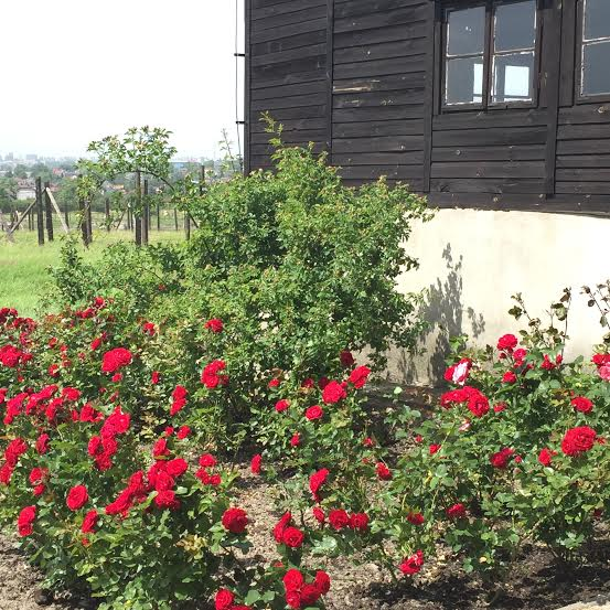 Majdanek - bed of red roses by the crematorium.