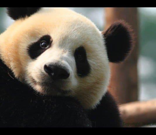 A panda bear in China.