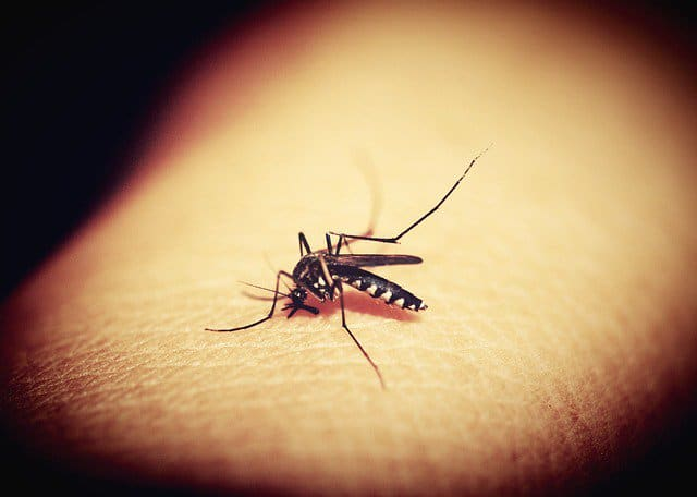 An Aedes aegypti mosquito responsible for the yellow fever outbreak.
