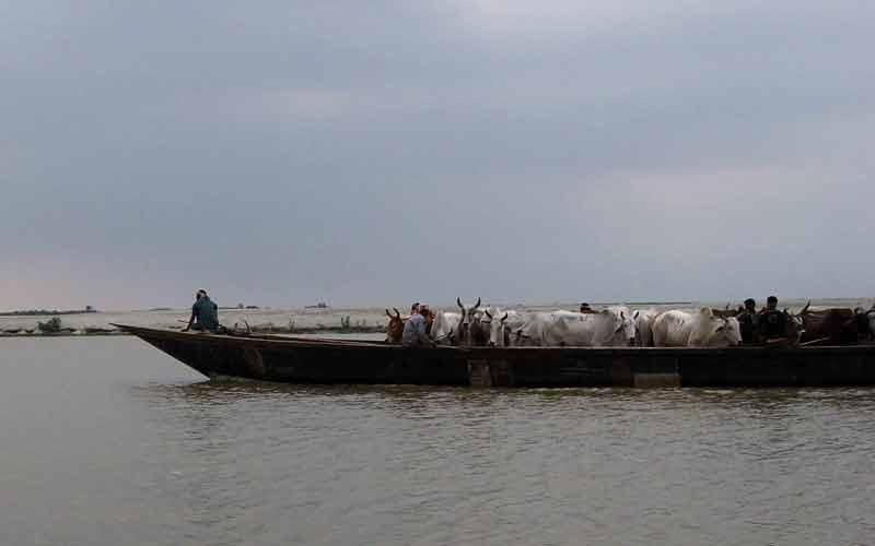 bangladeshi cattle smugglers riverine border area dhubri district.