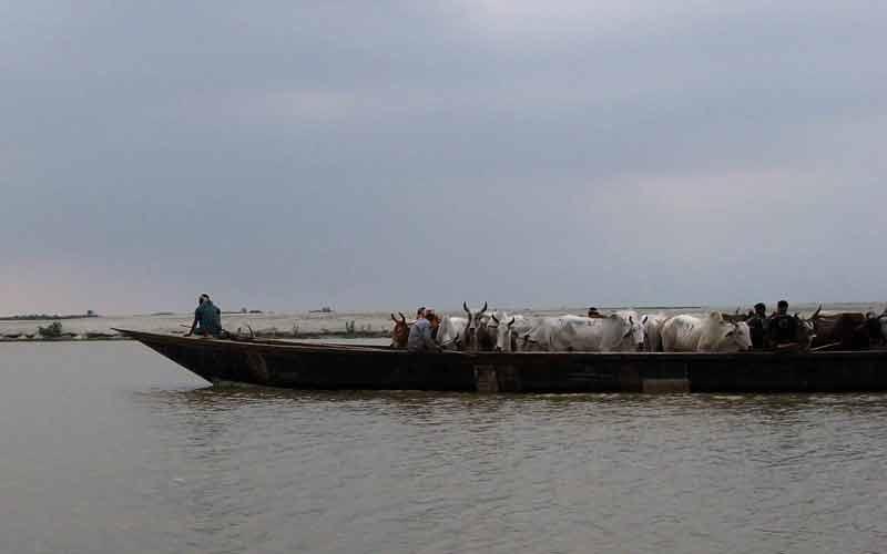 bangladeshi cattle smugglers riverine border area dhubri district.