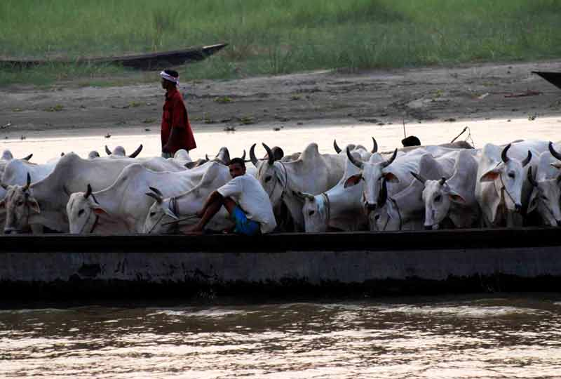 bangladeshi smugglers take cattle to bangladesh on boats india bangladesh riverine border.