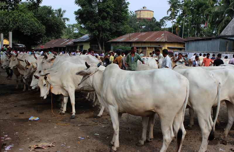 cattle at the market.