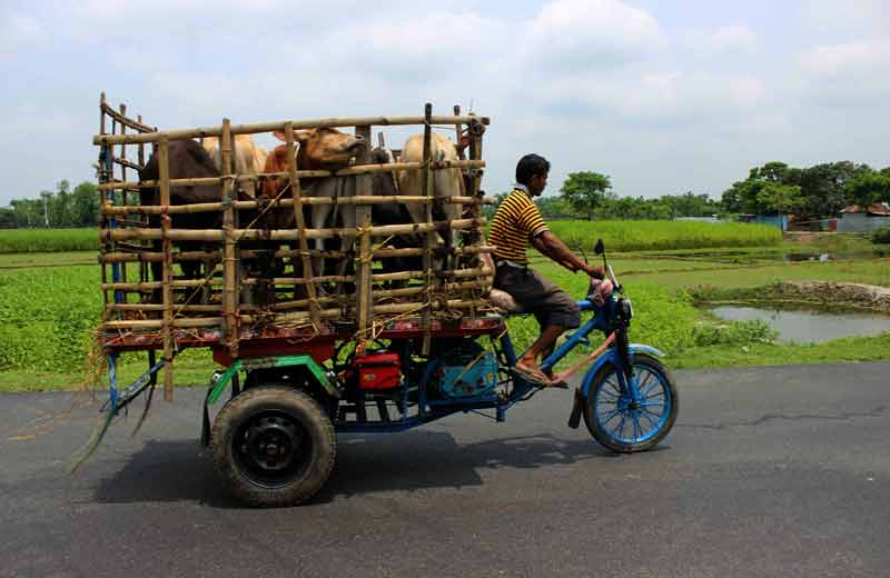 cattle cage cart going to market.