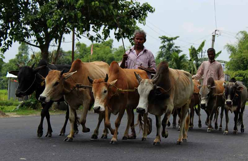 cattle drivers.