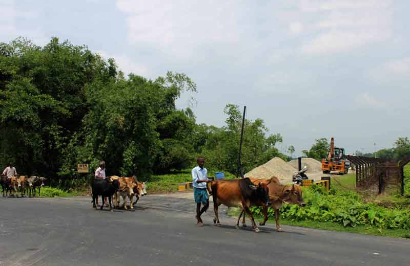 cattle near international border.