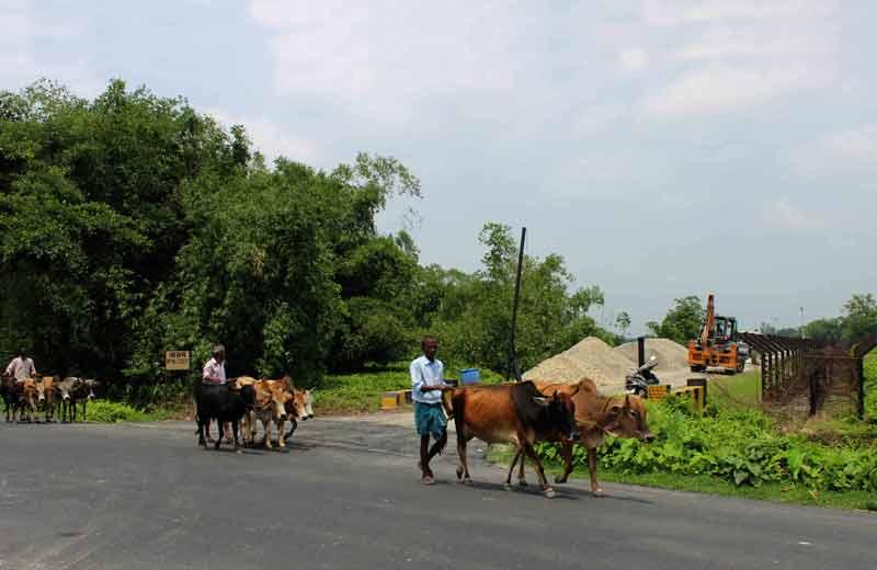 cattle near international border.