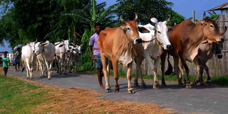 cattle taken to bangladesh.
