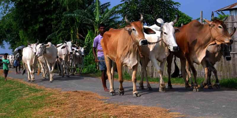 cattle taken to bangladesh.