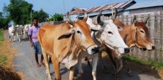 driving cattle to bangladesh.