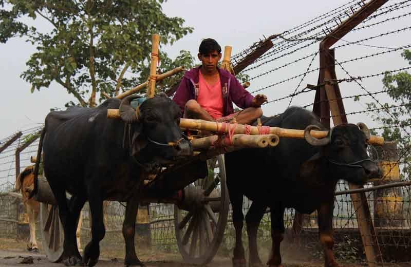 farmer brings his cattle home.