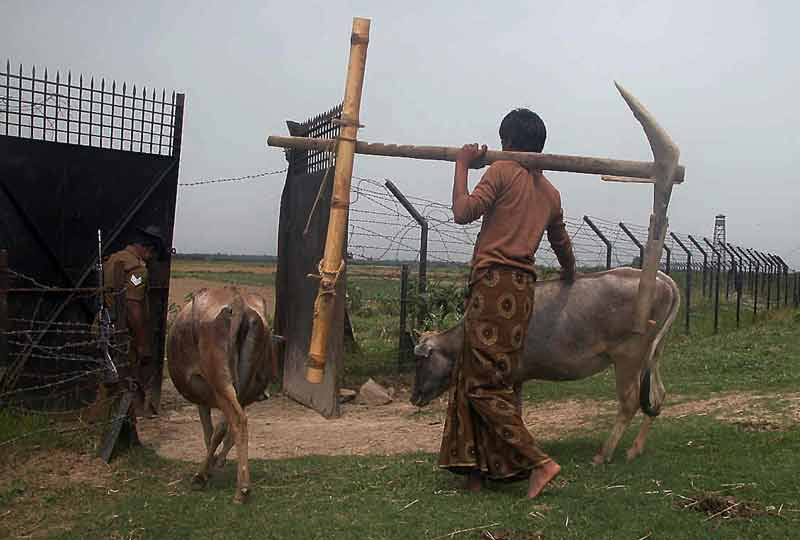 farmer takes his cattle through border gate past soldier.