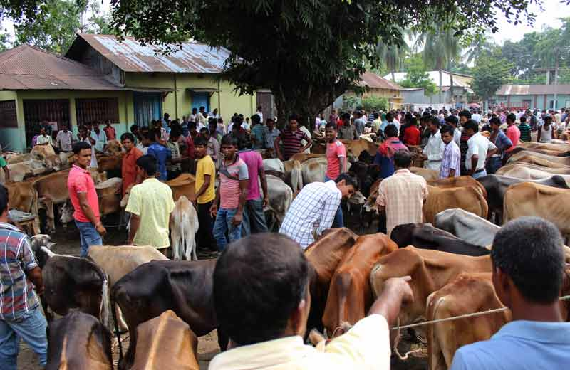 inspecting cattle at the market.