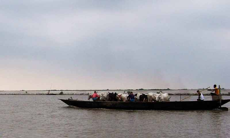smugglers take cattle to bangladesh through india bangladesh riverine border area dhubri district.