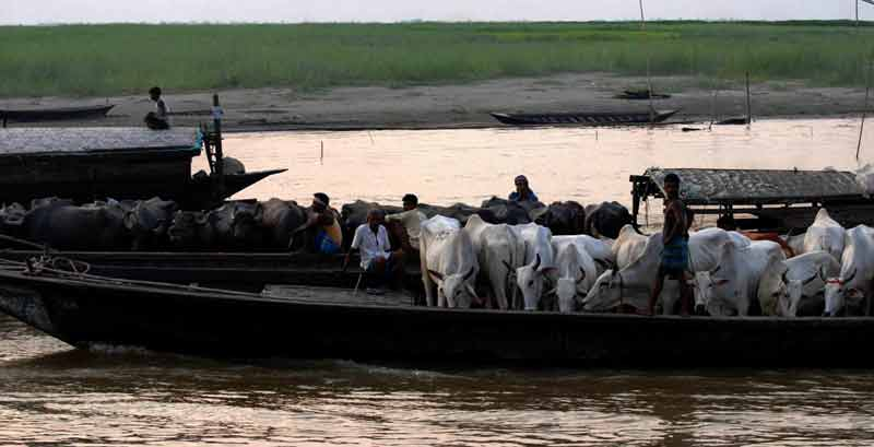smugglers take cattle to bangladesh through india bangladesh riverine border.