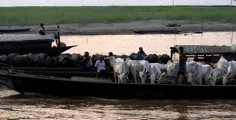 smugglers take cattle to bangladesh through india bangladesh riverine border.