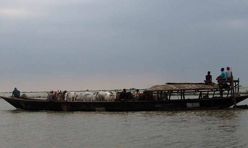 smugglers with cattle on boat at india bangladesh riverine border dhubri district.